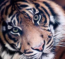 Wild Faces: Sumutran Tiger by Christopher Ashdown
