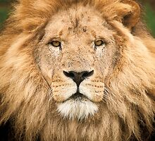 Wild Faces: Lion by Christopher Ashdown