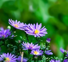 Soft Asters by Eileen McVey