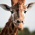 Wild Faces: Giraffe by Christopher Ashdown