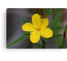 Hibbertia salicifolia  Canvas Print