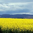 fields of yellow by natalie angus