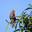 House finch, carpodacus mexicanus by Arto Hakola