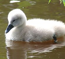 Cygnet lake! by weecritter