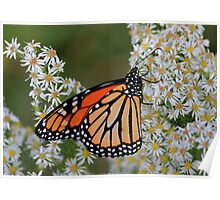 Monarch On White!  Poster