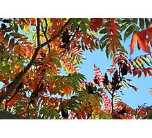 Stag's Horn Sumac Photographic Print