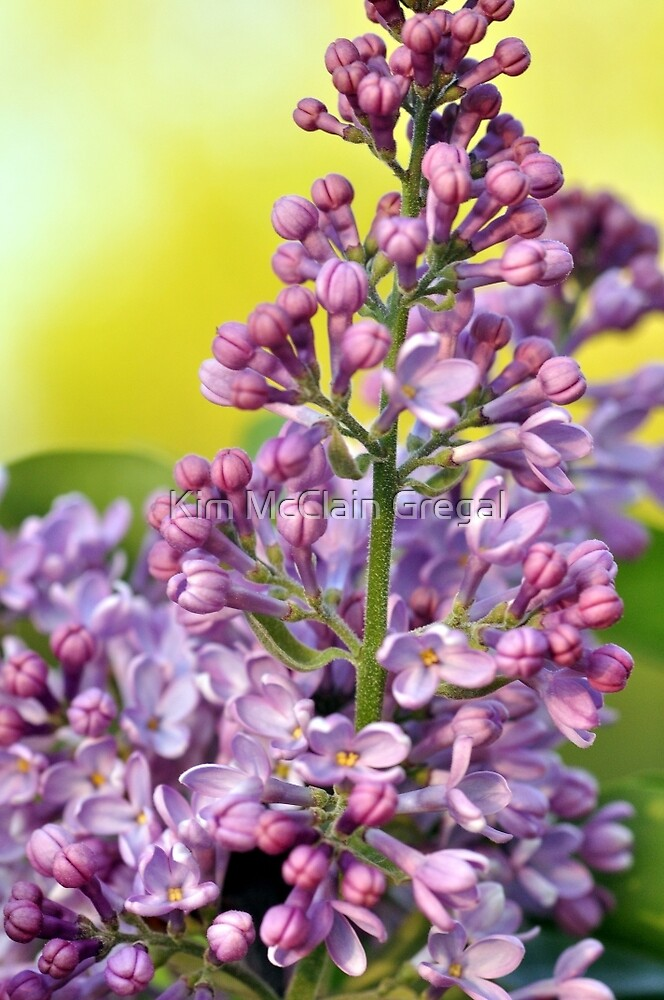 Oh the Aroma of Lilacs by Kim McClain Gregal