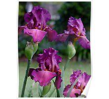 Bearded Iris - Lady Friend Poster