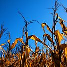 October Corn by Ray4cam
