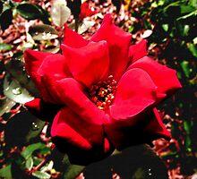 """""""Fiore Rosso Sangue"""" by Anthony Cherubino"""