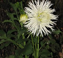 White Dahlie at Night by orko