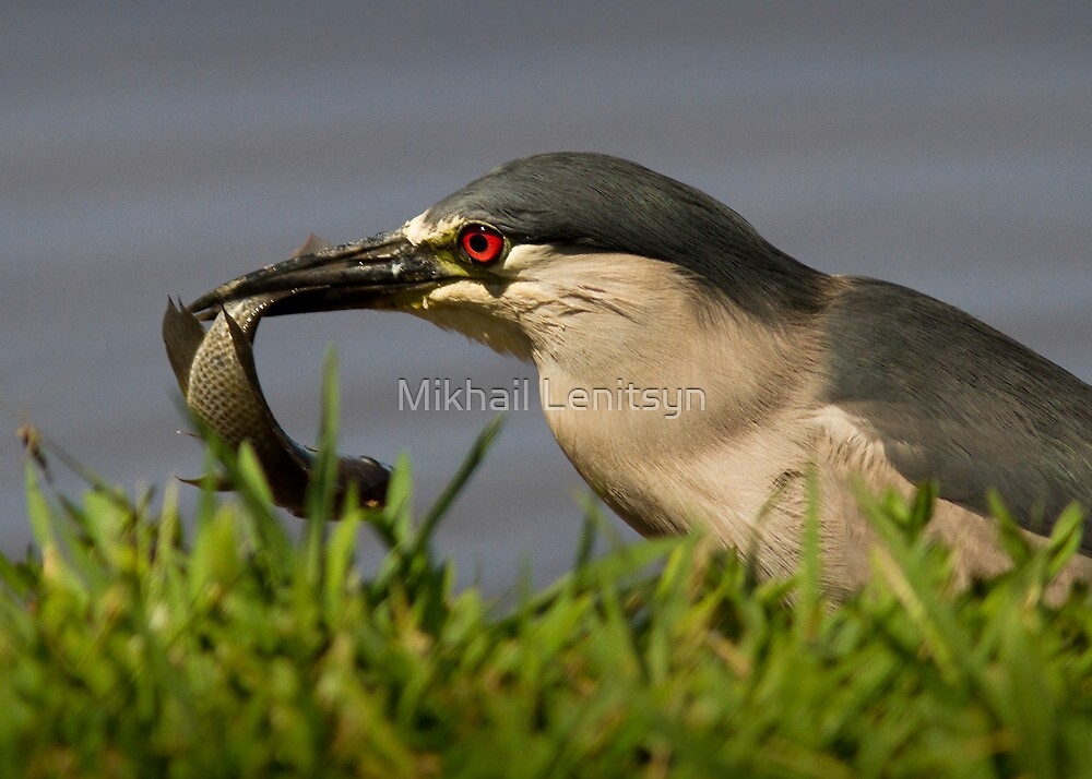 Black-Crowned Night Heron by Mikhail Lenitsyn