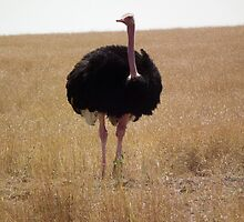 Ostrich beautiful by Sophie  Beckerman