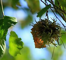 Tree Seed and Leaves by GlennB