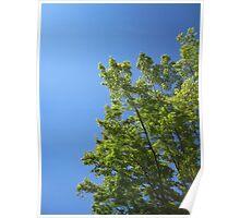 Maple Tree Sky Poster