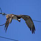 Osprey's Wire Drop by DARRIN ALDRIDGE