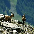 Gressoney - Valle d'Aosta - Ibex by ambra2italy
