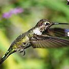 Calliope Hummingbird  by loiteke