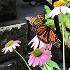 Butterflies at Airlie Gardens by Cynthia48