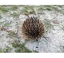 Spikey Rescue Photographic Print