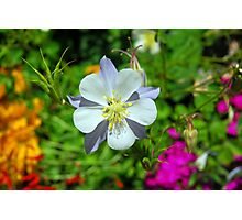 Blue Columbine in Winter Park Photographic Print