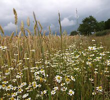 Wheat and Daisies by kalaryder