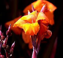 Canna Lily by Bob Wall