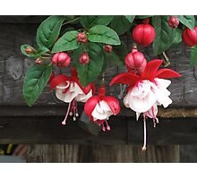Red Fuchsia Photographic Print