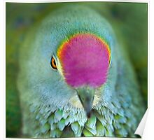 Rose Crowned Fruit Dove, Mission Beach FNQ. Poster