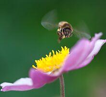 Honey Bee, Wisley by Rachael Talibart