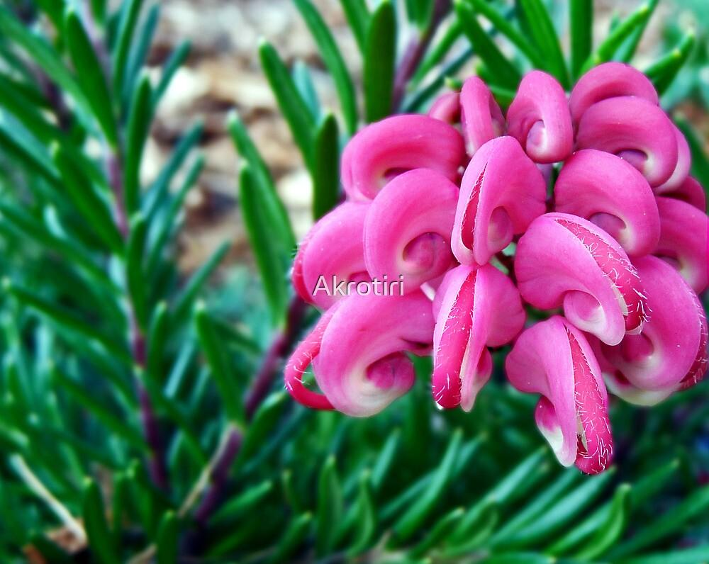 Blooming Lovely - Grevillea lanigera by Akrotiri