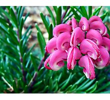 Blooming Lovely - Grevillea lanigera Photographic Print