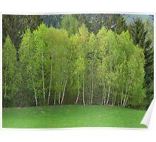 Spring Green - Birch Trees Poster