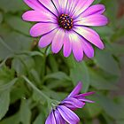 Purple daisy. by Baska