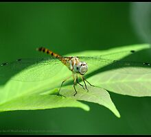 Blue-faced Meadowhawk... by pieceoflace