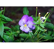 Purple Pansy amongst Greens  Photographic Print