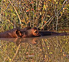 Hippo Reflections by Michael  Moss