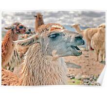 Laughing Llama Poster