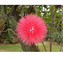 Tropical Red Puff  Photographic Print