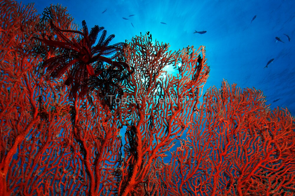 The Coral by Tobias Friedrich