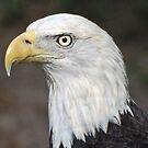 American Bald Eagle Portrait by Kathy Baccari