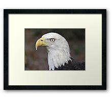 American Bald Eagle Portrait Framed Print