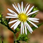 Panicled Aster by Otto Danby II