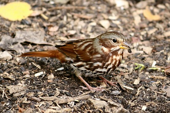 Fox Sparrow by Larry Trupp