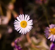 Dainty Daisies by Jacquelyne Drainville