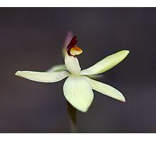 ~ Thelymitra antennifera ~ Photographic Print