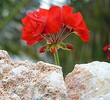 Red Geranium by Fara