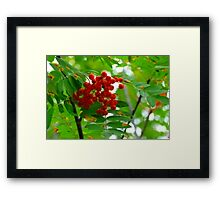 Mountain Ash, (Rowen Berry) Framed Print