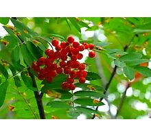 Mountain Ash, (Rowen Berry) Photographic Print