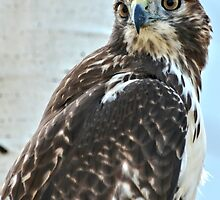 Red Tailed Hawk by Amy McDaniel